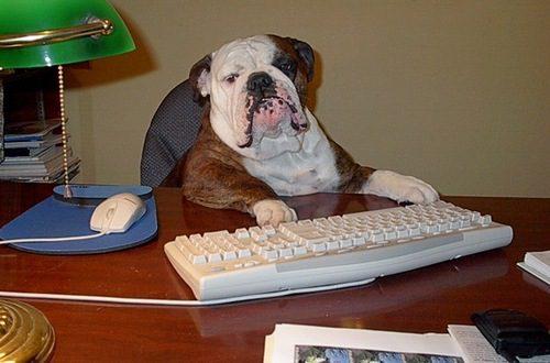 Бульдог работает в офисе.