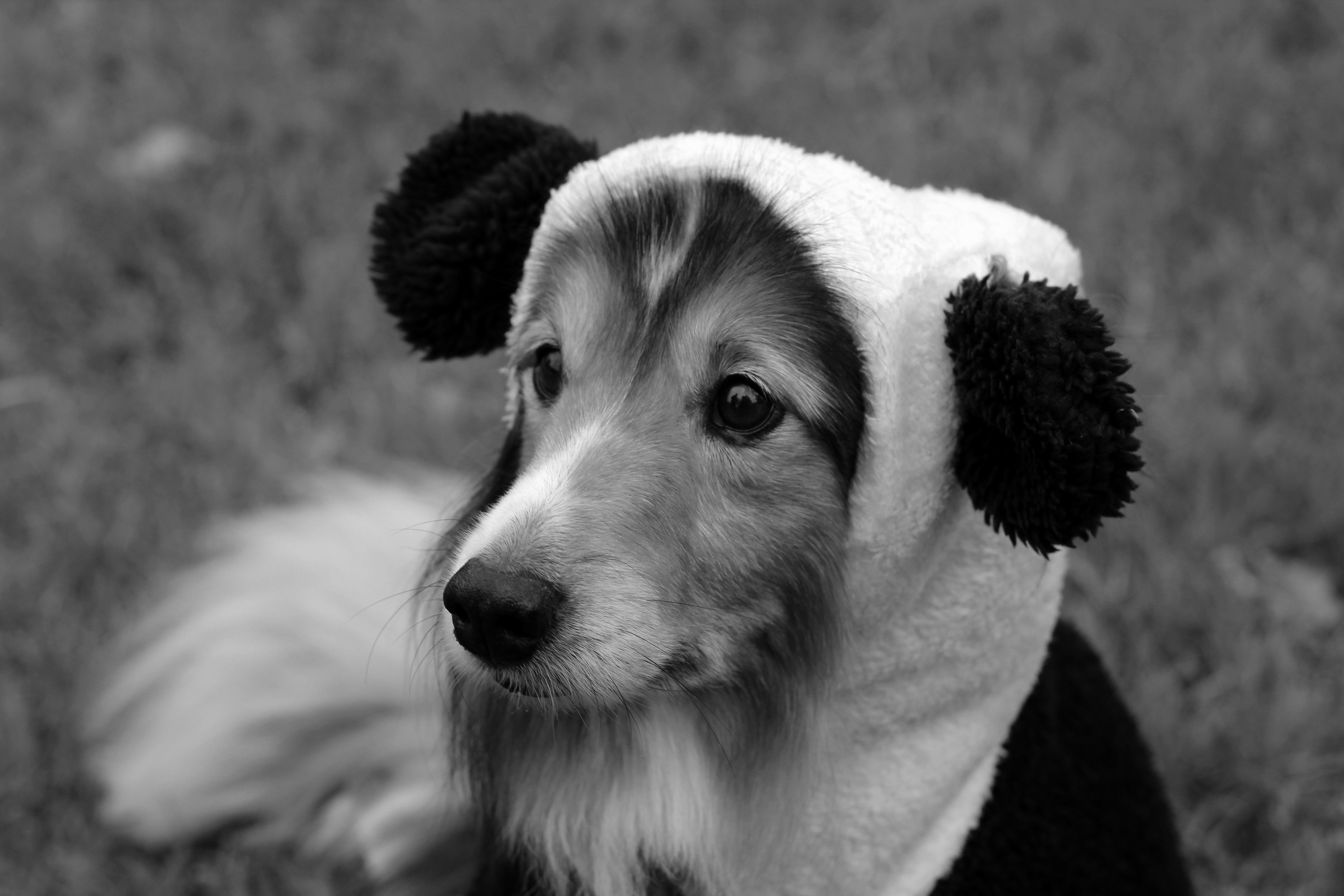 Шелти в костюме панды.