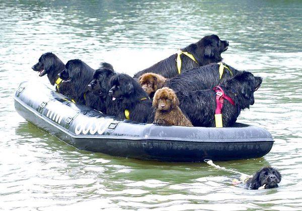Ньюфаундленды плывут на лодке по реке.
