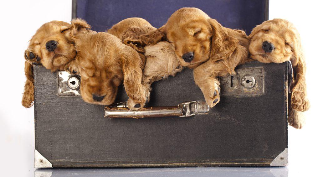 Коккер-спаниели в чемодане.