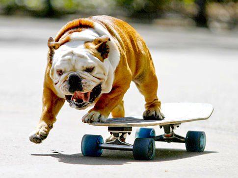 Бульдог на скейте.