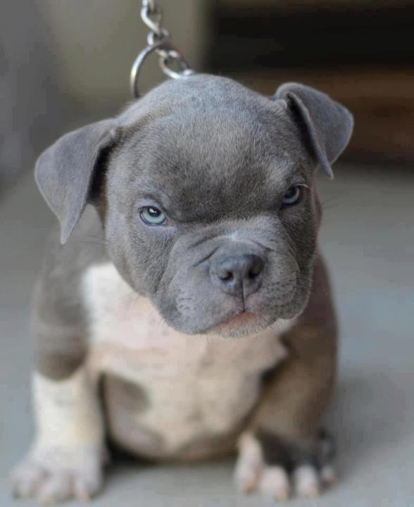 cute-blue-nose-pitbull-puppies-nzktt2hjf