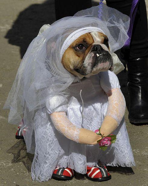 Бульдог-невеста.
