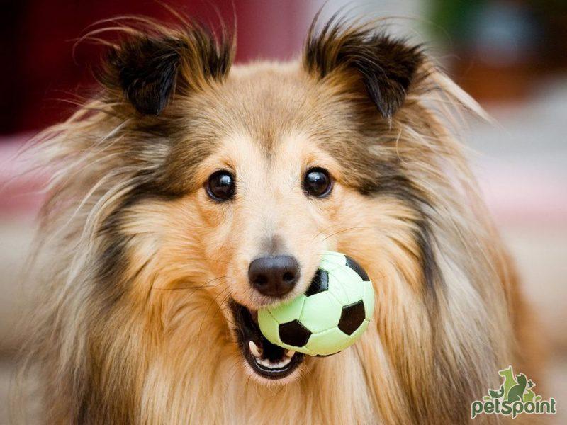 Шелти играет в мяч.
