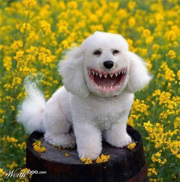 Широкая улыбка пуделя.