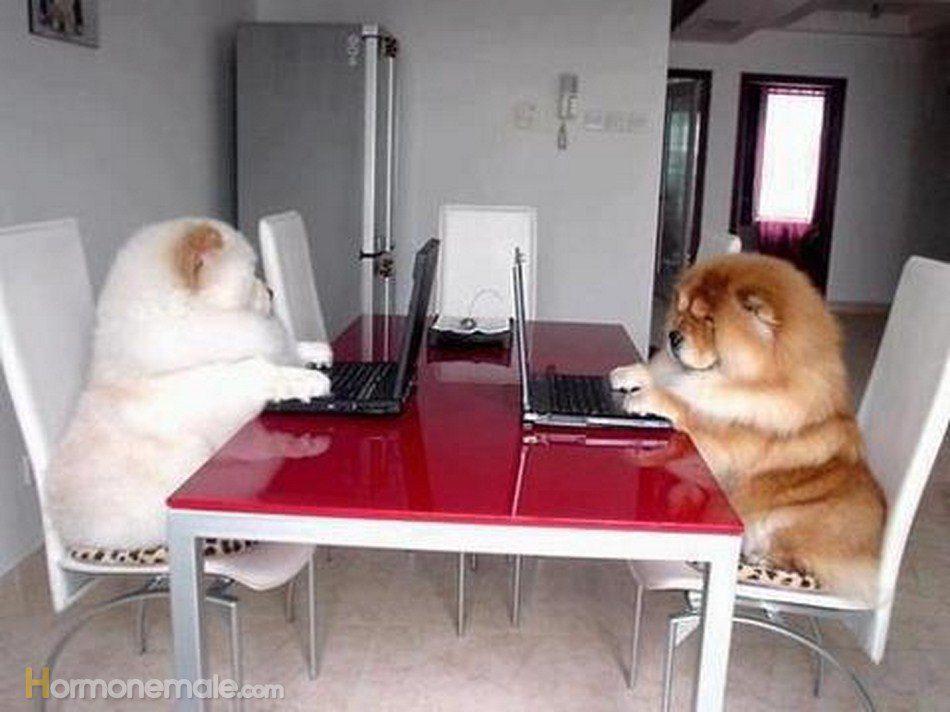 Чау=чау сидят за столом и играют в компьютерные игры.