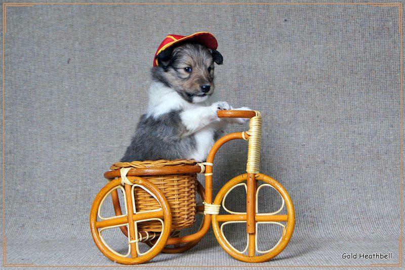 Щенок шелти катается на велосипеде.