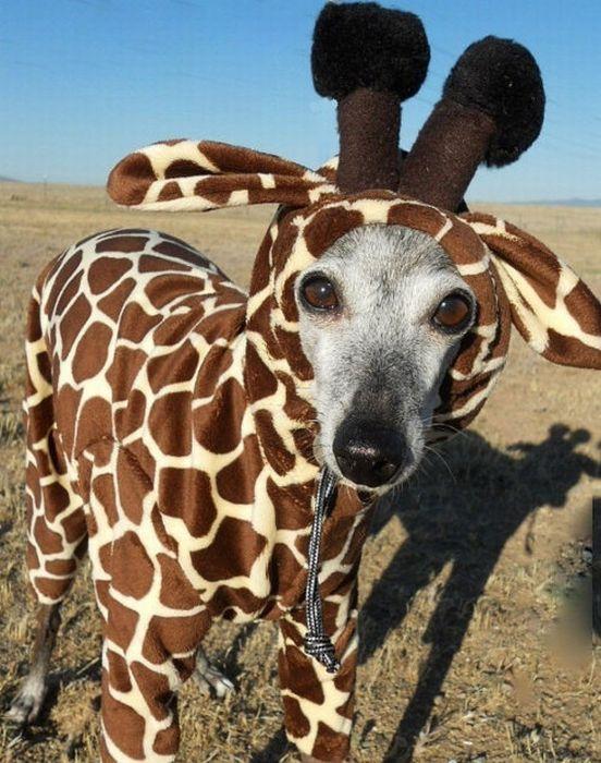 Левретка в костюме жирафа.