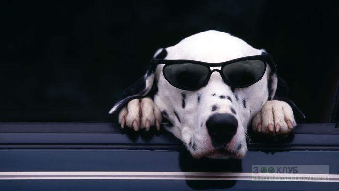 Далматинец в машине и в очках.