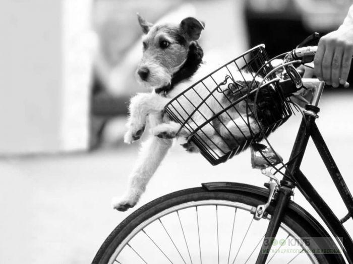 Фокстерьер едет на велосипеде.