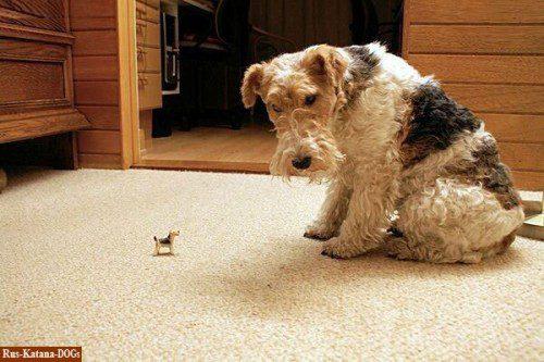 Фокстерьер удивляется встрече со своей миниатюрой.