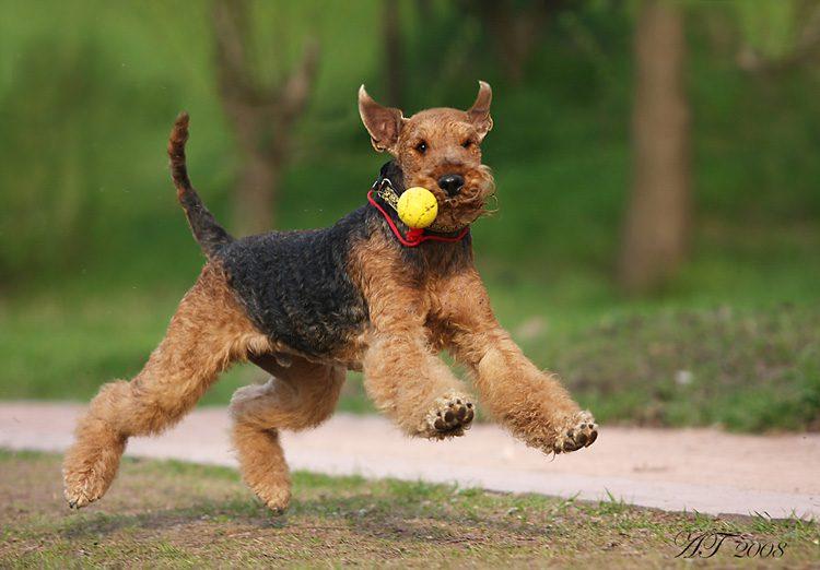 Эрдельтерьер играет с мячом.