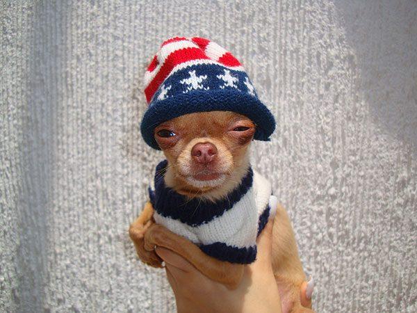 Чихуахуа в теплой шапочке.
