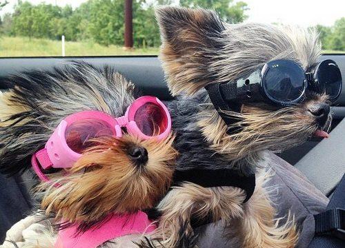 Йоркширские терьеры в очках едут в автомобиле.