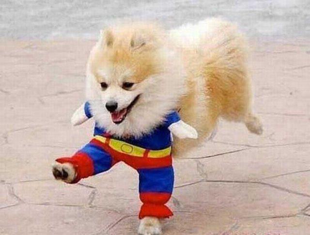 Померанский шпиц в костюме супергероя.