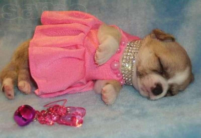 Чихуахуа в розовом платье.