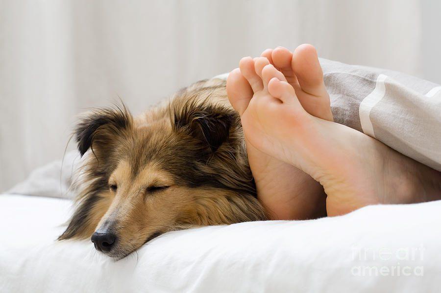 Шелти спит со своим хозяином под одеялом.
