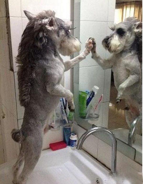 Цвергшнауцер смотрится в зеркало.