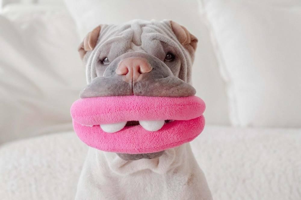 Шарпей с большими розовыми губами.