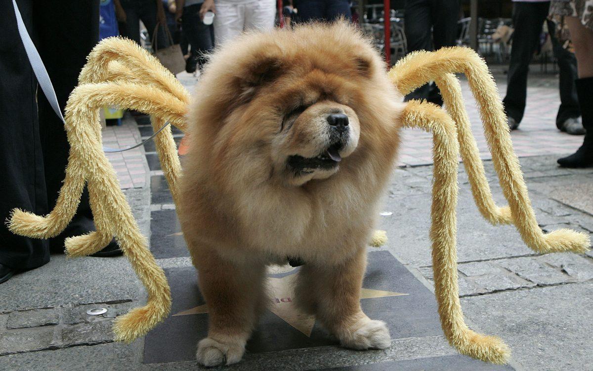 Чау-чау в роли паука.