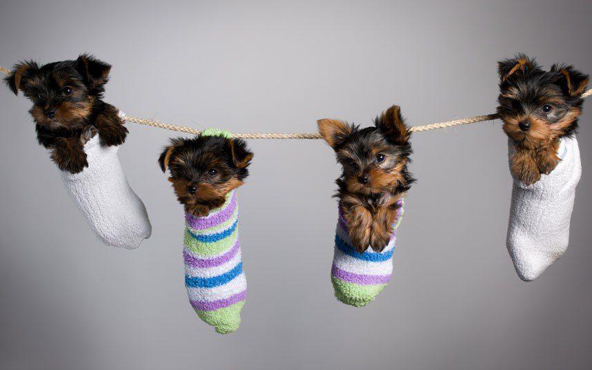 Йоркширские терьеры в носках висят на веревке.