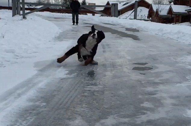 Бернский зенненхунд подскользнулся на льду.