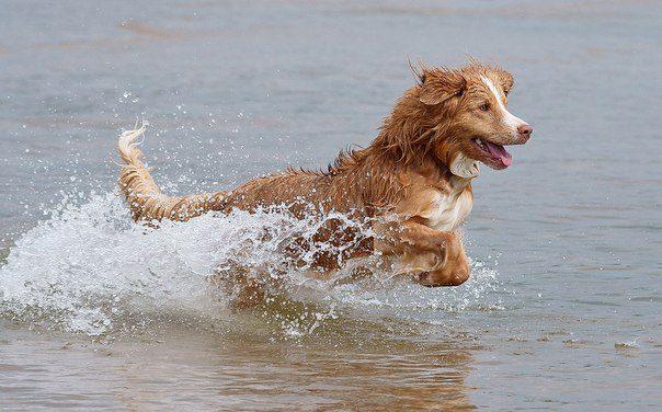 Новошотландский ретривер купается.