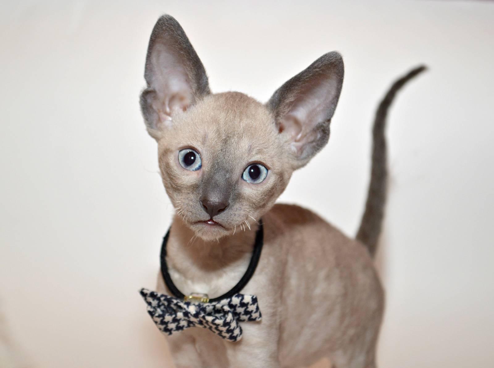 Фотографии котят корниш рекс