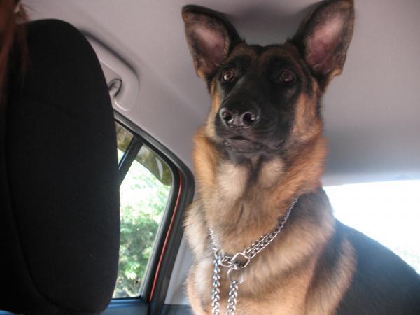 Немецкая овчарка едет в автомобиле.