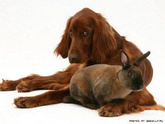 Ирландский сеттер играет с кроликом.