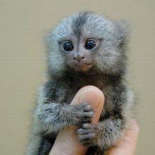 Прикольные маленькие обезьянки. (11 фото)