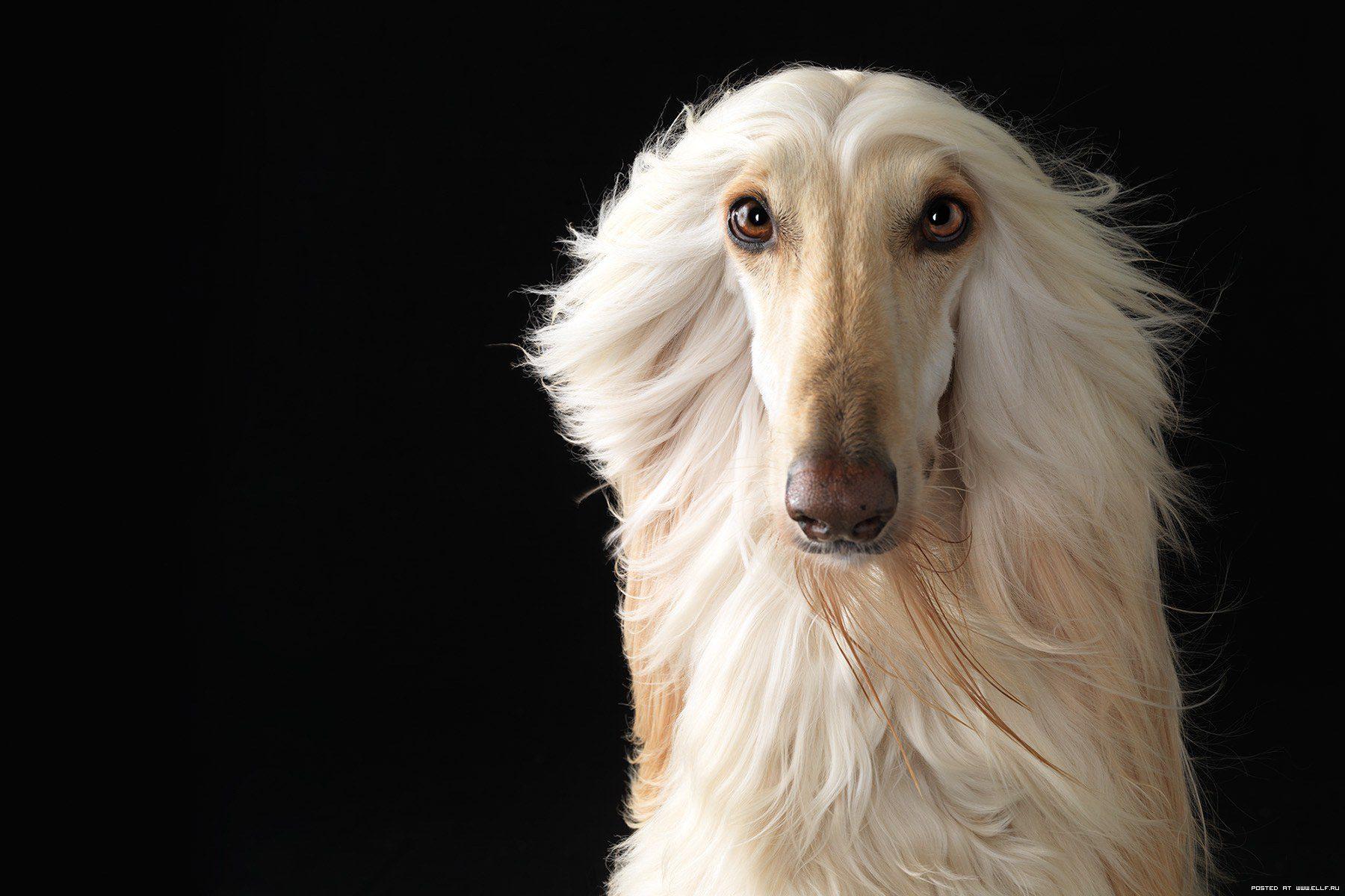 Афганская борзая-блондинка.