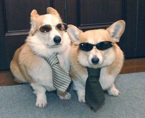 Вельш-корги в солнечных очках и галстуке.