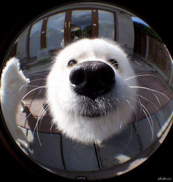 Самоед смотрится в зеркало.