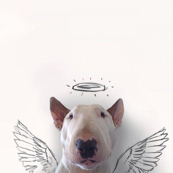 Бультерьер-ангел.