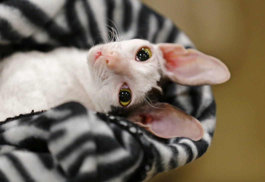 A Cornish Rex looks out from a blanket at the annual cat show in Del Mar, California