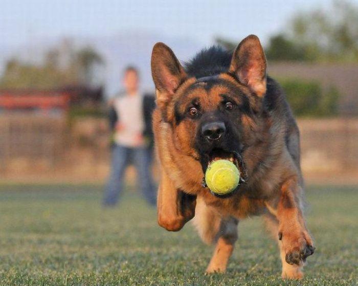 Немецкая овчарка пытается поймать мячик.