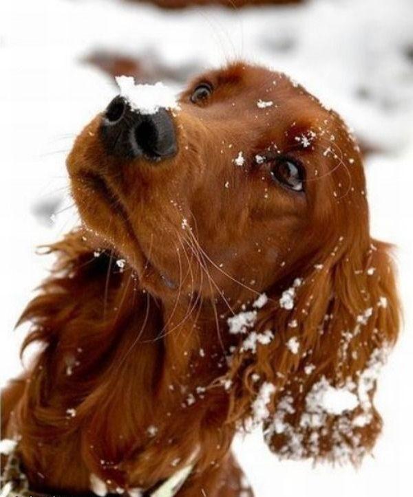 Снег упал на нос ирландскому сеттеру.