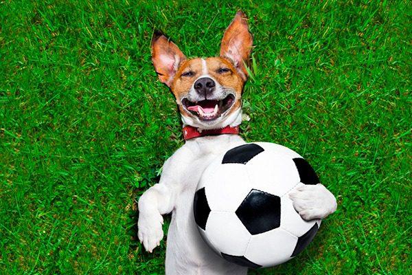 Джек-рассел-терьер с футбольным мячом.