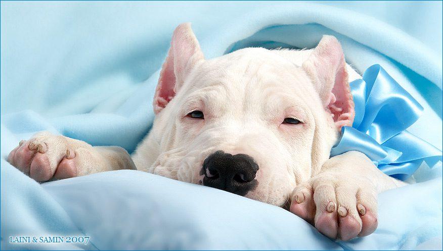 Аргентинский дог спит в кровати.