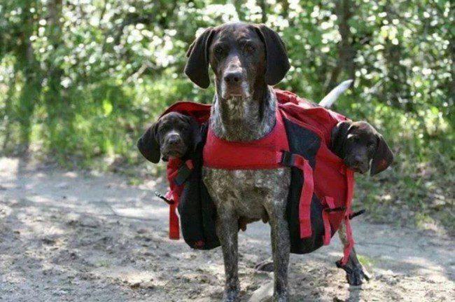 Курцхаар несет своих детей в рюкзаках.