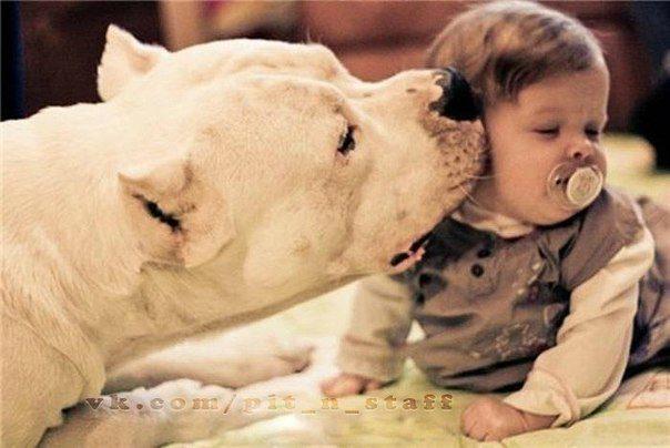 Аргентинский дог целует ребенка.