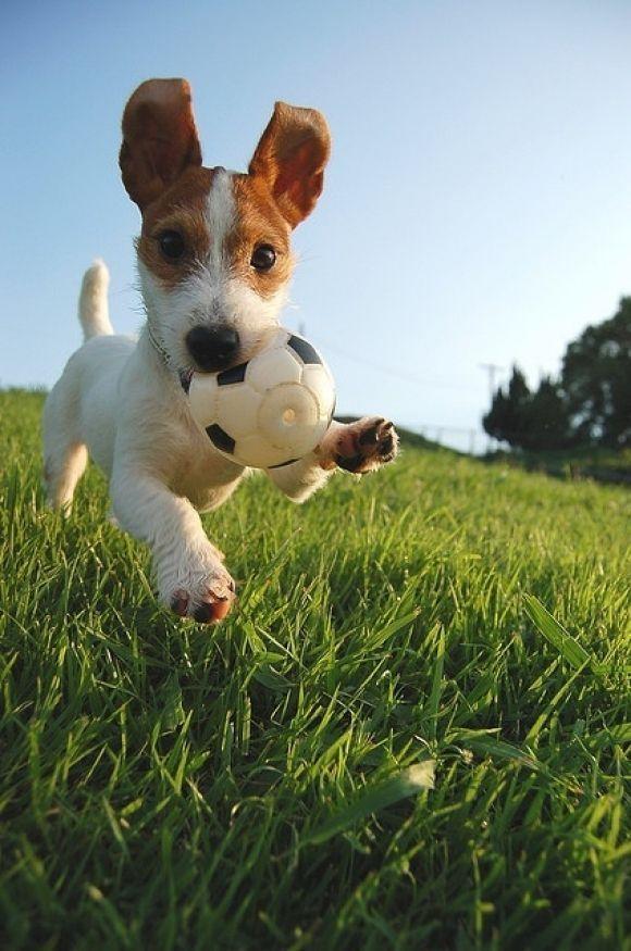 Джек-рассел-терьер бежит по траве.