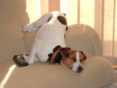 Джек-рассел-терьер заснул на кресле в неудобной позе.