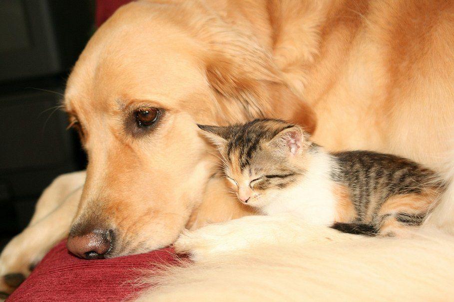 Новошотландский ретривер обнимает котенка.
