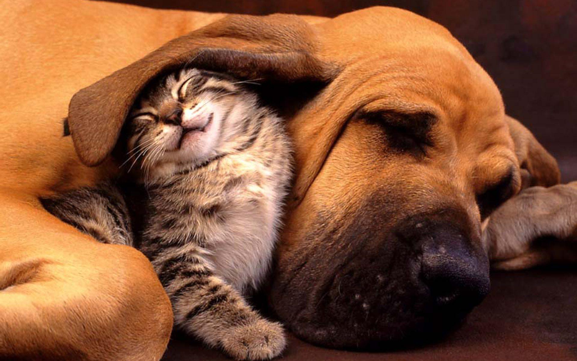 Бладхаунд приютил под своим ухом кота.