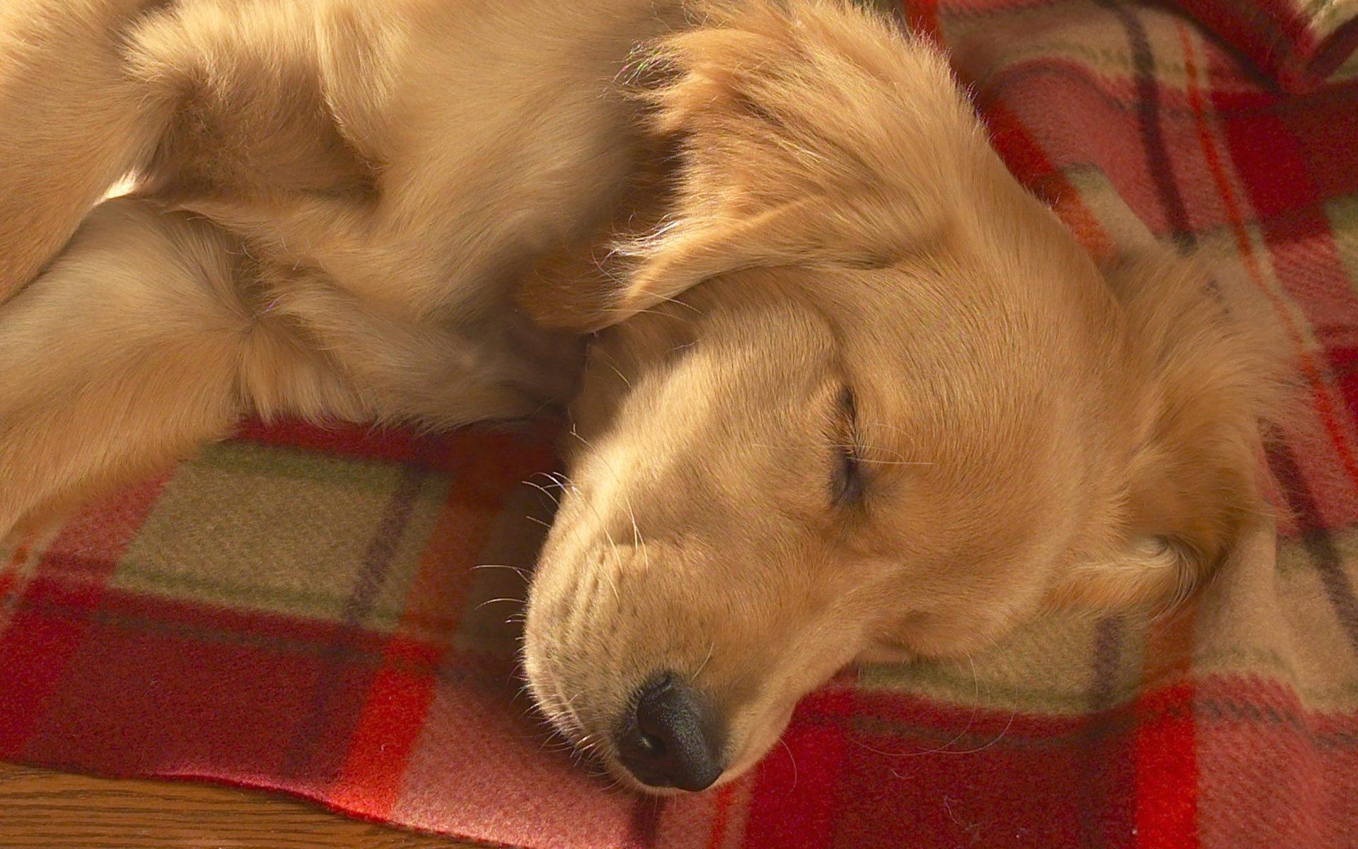 Новошотландский ретривер спит.