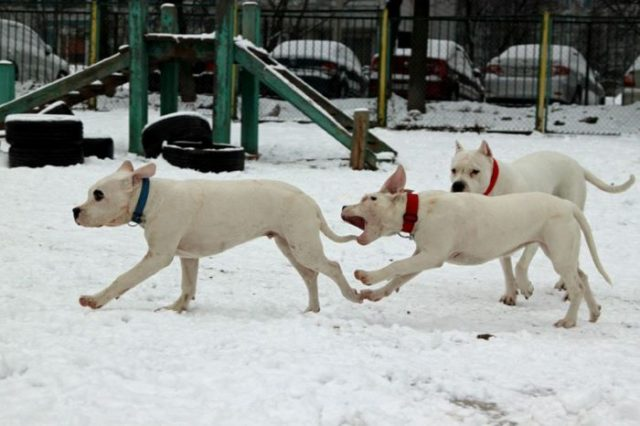Белые доги  играют на улице