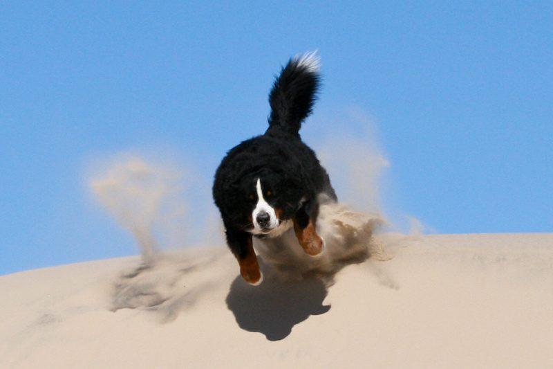 Бернский зенненхунд бежит по песку.