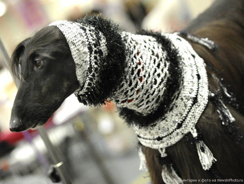 Афганская борзая в шарфе.